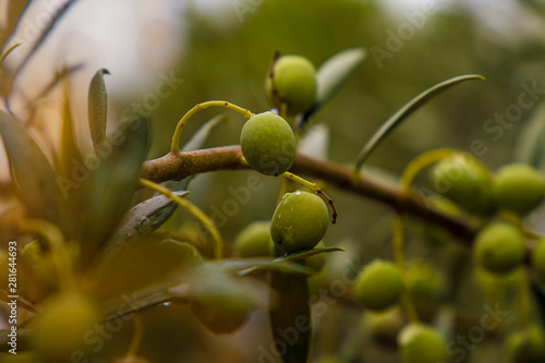 Wall Murals Olive tree Olive plants in the field