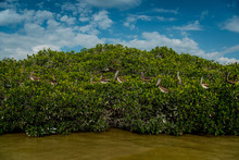 Pelicans And Gulls In The Mangroves In Celestun National Park. Mexico.