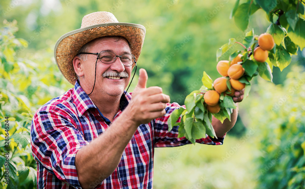 Fototapety, obrazy: Orcharding. Happy farmer standing in the orchard and showing thumb up. Hobbies and leisure, agricultural concept