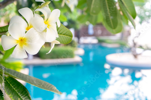 Foto auf AluDibond Plumeria Plumerias flower on the tree, background be swimming pool