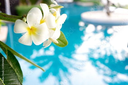 Poster Plumeria Plumerias flower on the tree, background be swimming pool