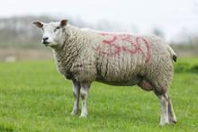 Sheep, Ovis Aries