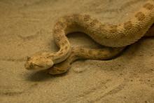 Saharan Horned Viper, Horned Desert Viper (Cerastes Cerastes).