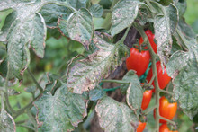 Downy Mildew On  Cherry Tomato Plant. Cherry Tomatoes Plant With Disease In The Vegetable Garden. Brown Spots On Tomato Leaves.