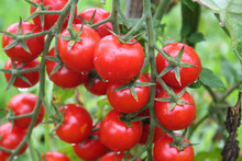 Ripe Red Cherry Tomatoes Cover...