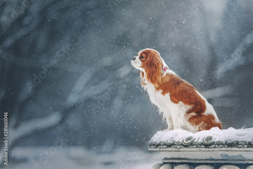 Photo Cavalier king charles spaniel for a walk in winter