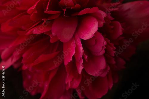 Obraz na plátně  peony flower closeup