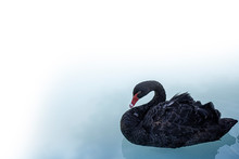 A Black Swan Swimming On A Poo...