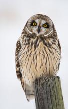 Short Eared Owl In The Winter