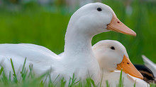 Panorama Close Up Of White Ducks Sitting On A Terrain Covered With Vivid Green Grasses