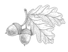 Drawn Oak Leaves And Acorns. S...