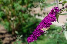 An Hummingbird Hawk-moth Feedi...