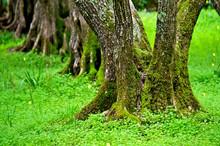 Muliple Trunks On Old Olive Tree