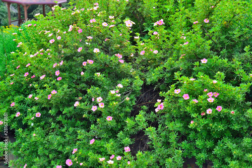 Valokuvatapetti Blooming cultivar shrubby cinquefoil (Dasiphora fruticosa Lovely Pink) in the
