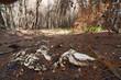 Knochengerüst eines Schafes nach einem Waldbrand (Strofilia, Griechenland) - forest after a fire in Greece