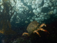 Spider Crab Underwater Staring Wistfully At A Curios Rock Formation