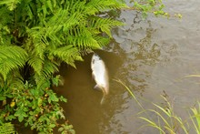 Dead Fish Floating In Stream