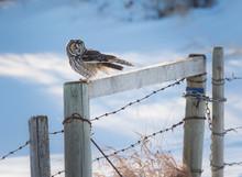 Long Eared Owl In The Wild