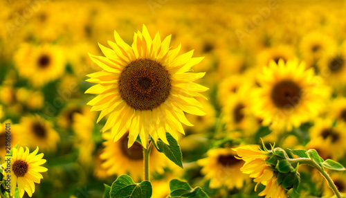 Autocollant pour porte Tournesol Sunflower Field in the sunset