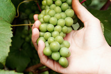 Green Ripening Grapes In Farme...