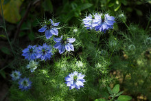 Nigella Sativa Flower With Blue Flowers (Love-in-a-mist), Summer Herb Plant With Different Shades Of Blue Flowers On Small Green Shrub. Medicinal Plant Black Caraway, Black Cumin, Garden Background.