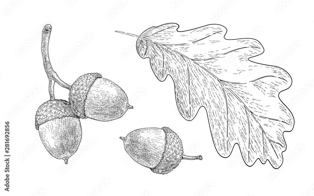 Fotografie, Obraz Drawn oak leaf and acorns. Sketch of autumn  plants. Graphics