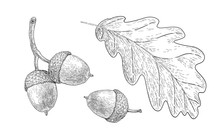 Drawn Oak Leaf And Acorns. Sketch Of Autumn  Plants. Graphics