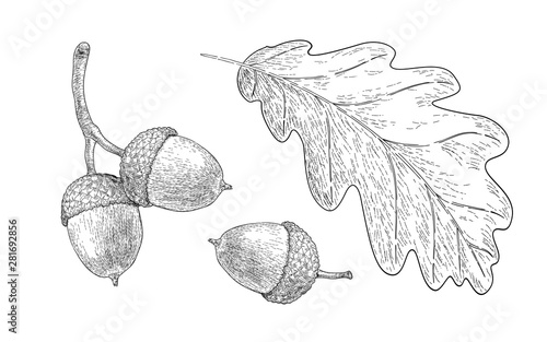 Fotografie, Obraz Drawn oak leaf and acorns. Sketch of autumn  plants. Graphics