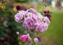 Glowing Ping Roses