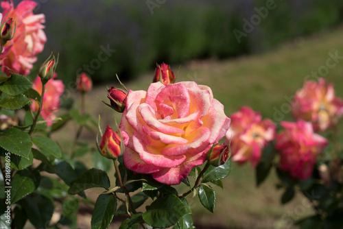 Rose Bud Hill
