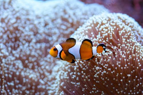 Fototapeta The orange clownfish Amphiprion percula , swims among the corals in a marine aquarium