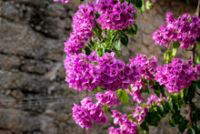 Blooming Purple Flowers From A...