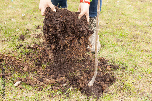 The gardener is planting a tree in the ground  Pit for