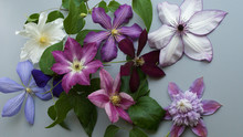 Eight Multicolored Clematis