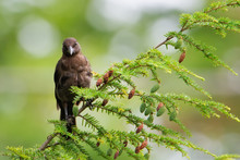 Juvenile Common Grackle Sitting On A Tree Branch