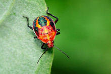Image Of Red Stink Bug On Gree...