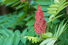 Sumac Flower
