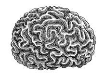 Brain Coral Illustration, Drawing, Engraving, Ink, Line Art, Vector