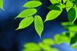 光を浴びて輝く新緑の若葉