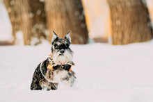 Miniature Schnauzer Dog Or Zwergschnauzer Sitting In Outfit Playing Fast Running In Snow At Winter Day