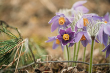Belarus. Beautiful Wild Spring Flowers Pulsatilla Patens. Flowering Blooming Plant In Family Ranunculaceae, Native To Europe, Russia, Mongolia, China, Canada And United States