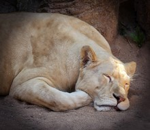 Lioness Is Tired And Is Sleeping On The Sand