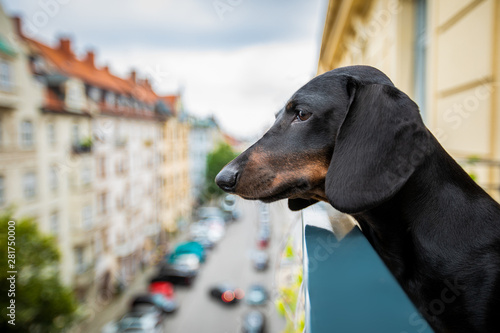 Photo sur Aluminium Chien de Crazy nosy watching dog from balcony