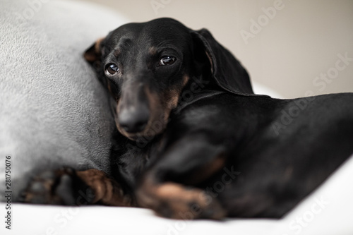 Photo sur Aluminium Chien de Crazy dog sick , ill or sleeping