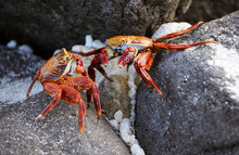 Sally Lightfoot Crab On Rock I...