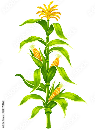 Set of ripe maize corncobs with yellow corns ears and green leaves on plant stem set, vegetable isolated on white transparent background Obraz na płótnie