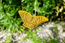 Silver-washed Fritillary Butterfly With Slightly Torn Wing