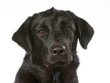 Black Labrador Dog Portrait. I...