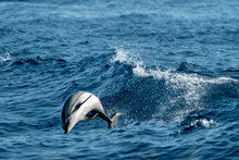 Striped Dolphins While Jumping In The Deep Blue Sea