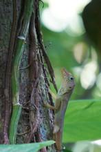 Jamaican Anole (Anolis Grahami) Gecko Climbing On Tree